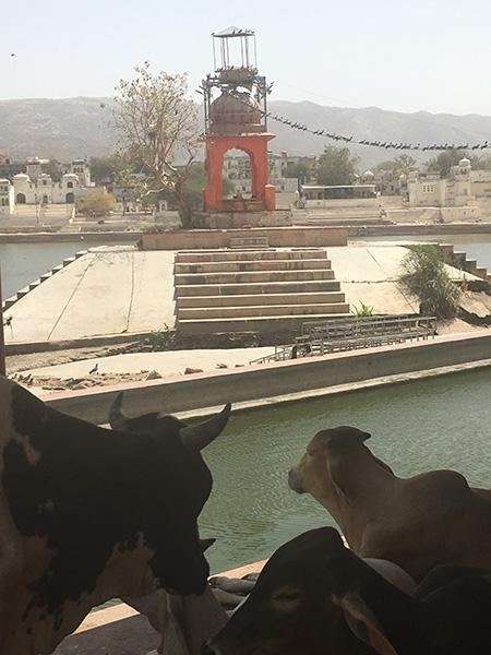 cows in puskhar rajasthan